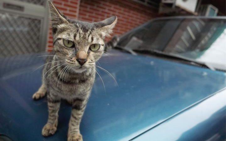 Nissan призвал водителей стучать по капоту для спасения кошек